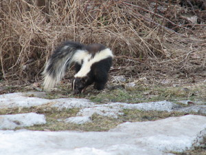 <b>Leader Road Skunk</b>