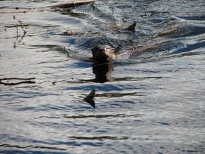 <strong>Chalk River Bridge Otter by P. MacDonald</strong>