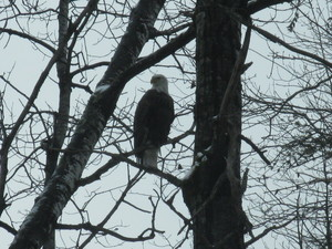 <strong>Eagle</strong><br />by P. MacDonald